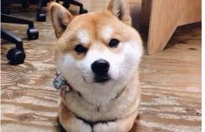 柴犬吃什么狗粮好 以鱼肉和无穀类的配方